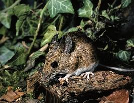 Mysz zaroślowa